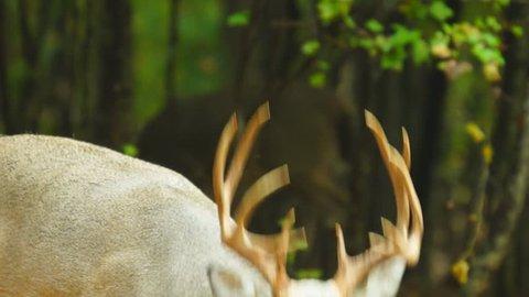Whitetail Deer mature buck, October in Georgia