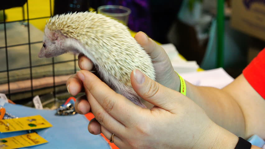 female hands holding a small white hedgehog with light needles in the back.