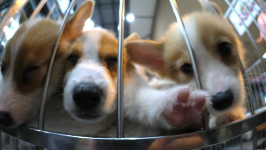 Corgi Puppies In Cage For Sale In Pet Shop. HD, 1920x1080.