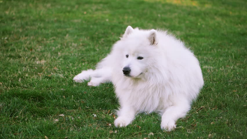 Funny white Samoyed husky dog in the park. Laika dog breed walking in summer day. Greenery background. SLOW MOTION.