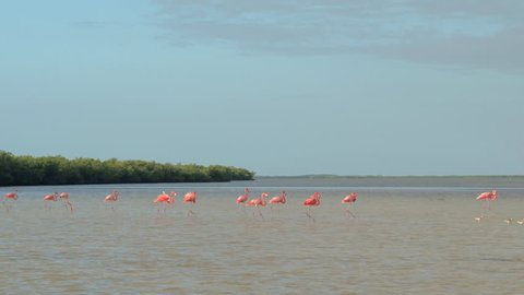 CLOSE UP: A group of pink flamingos walking in shallow water crossing wide muddy river at the estuary to the sea. Wild flamingo birds wading in lush mangrove swamp in sunny Rio Lagartos lagoon, Mexico