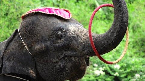 Elephant show playing Hula Hoop