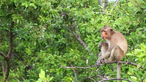 Long-tailed Macaque is monkey live mangrove forest area.