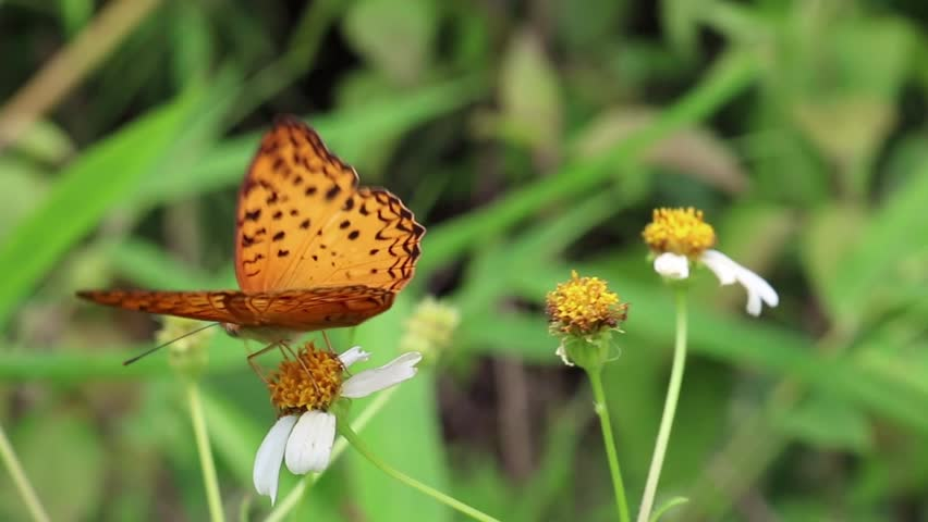 Butterfly drinking the nectar on flower
