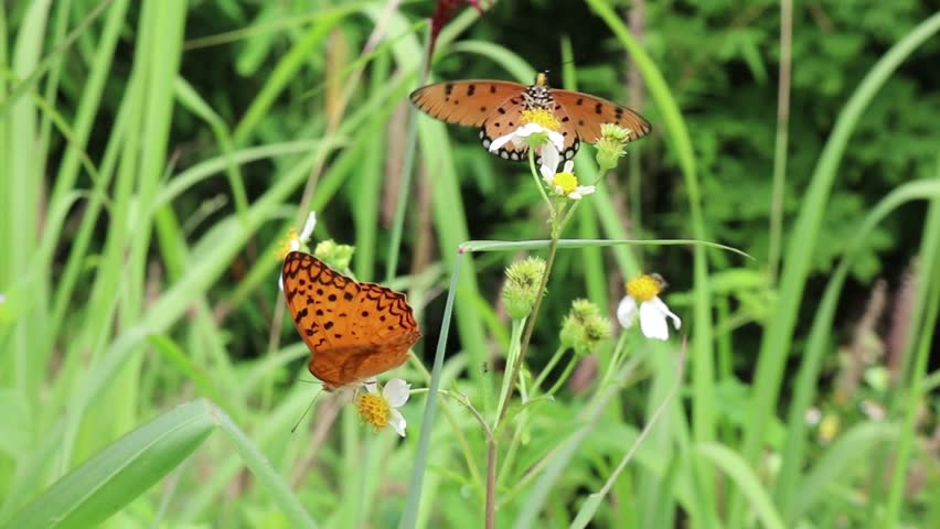 A flock of butterflies fly from flower to flower drinking the nectar