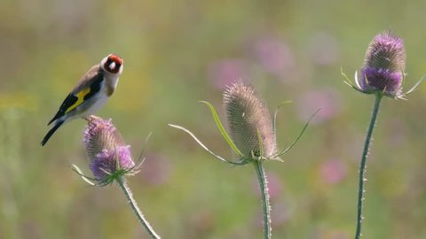 Goldfinch (Carduelis carduelis) feeding on teasel (Dipsacus fullonum). Colourful male bird in the finch family (Fringillidae) feeding on seeds whilst perched flowerhead