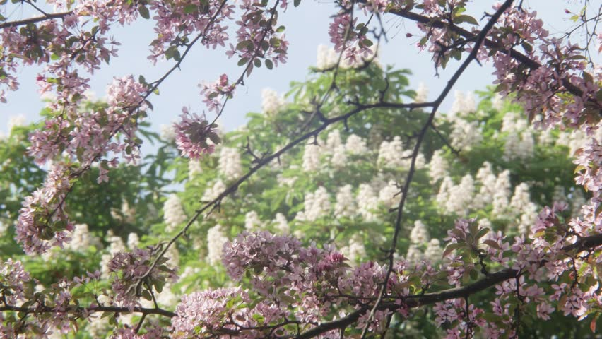 Branches Of The Chestnut Tree Stock Footage Video 100 Royalty Free