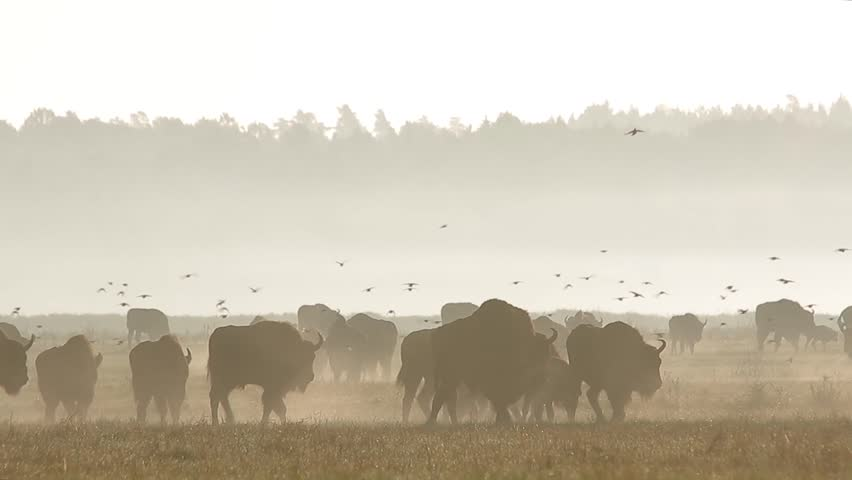 European bison. Large herd of animals migrates in a fog. Bison bonasus. Walking large group of bisons with birds flock in Belarus.