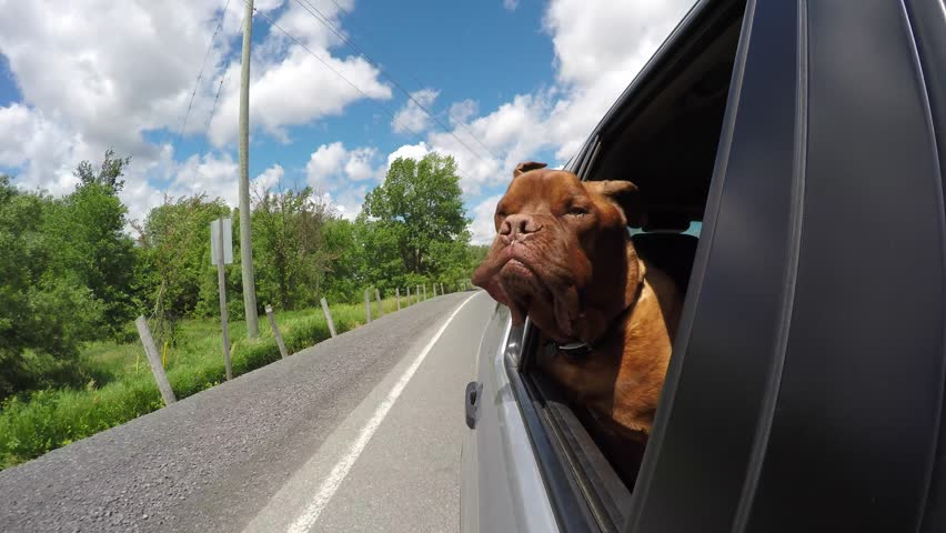 Cute dogue de bordeaux enjoys car ride with head out window 4k, go   Shutterstock HD Video #29184619