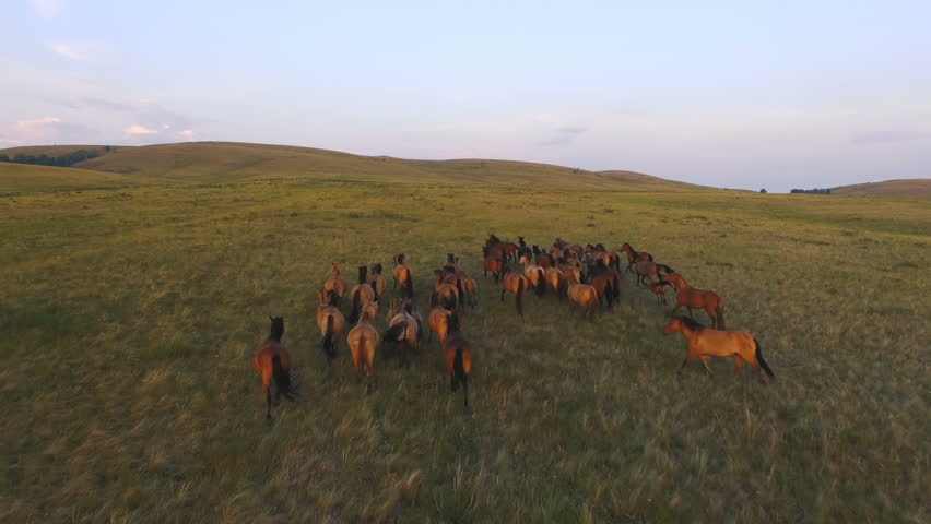 AERIAL: Herd of wild horses moving through the yellow hills, during pink sunset. Wild animals, wild places, running stallions, shot from above, autumn mountains. #29224531