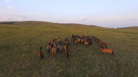 AERIAL: Herd of wild horses moving through the yellow hills, during pink sunset. Wild animals, wild places, running stallions, shot from above, autumn mountains.