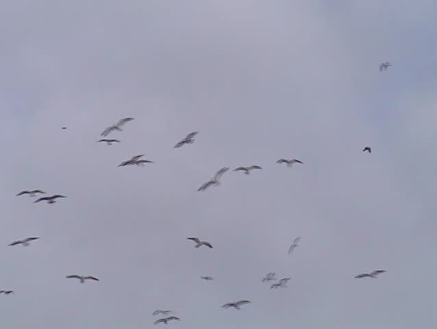 Large flock of gulls flying