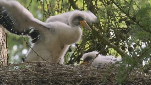 Black stork (Ciconia nigra) chicks in nest