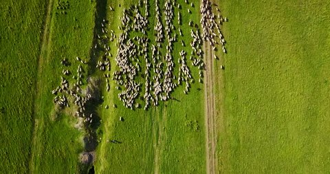 Aerial Drone View Of Sheep Herd Feeding On Grass