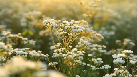 Fligth across the chamomile field at dawn. Field flowers shining in a morning sunbeams and bumping up on camera lens.