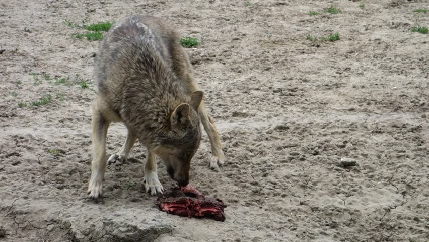 Young Wolf Eating a Hunk of Meat - HD stock video clip