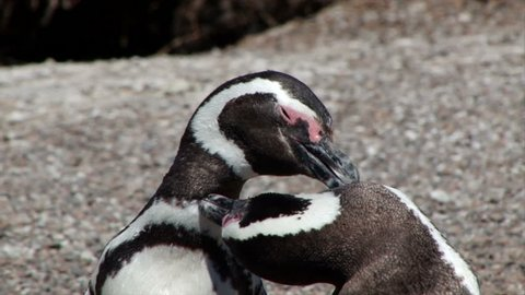 Close shot of two Magellanic penguins grooming each other in the sun on the Valdez Peninsular of Argentina