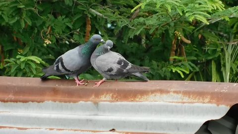 The two bird are kissing and breeding