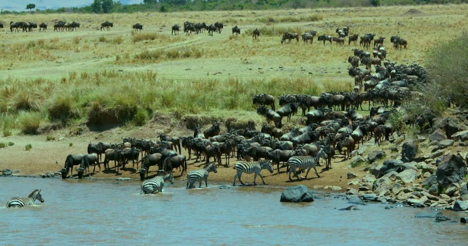 Burchell'S Zebras Cross Mara River; Maasai Mara Kenya Africa