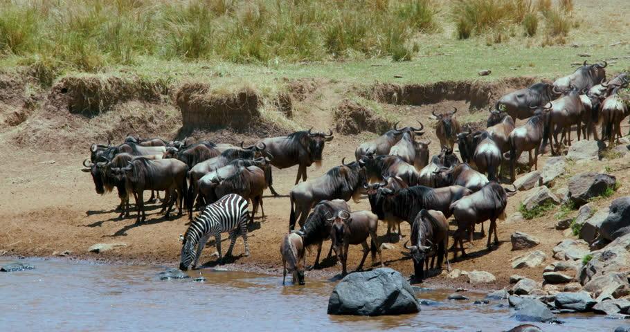 Blue Wildebeest & Burchell'S Zebra & Drinking At Mara River; Maasai Mara Kenya Africa
