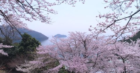Aerial footage of cherry blossoms in full bloom at lake Biwa, Shiga Prefecture, Japan