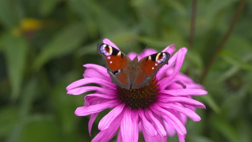 European peacock butterfly - Inachis io -  feeds on nectar of a purple coneflower, echinacea purpurea