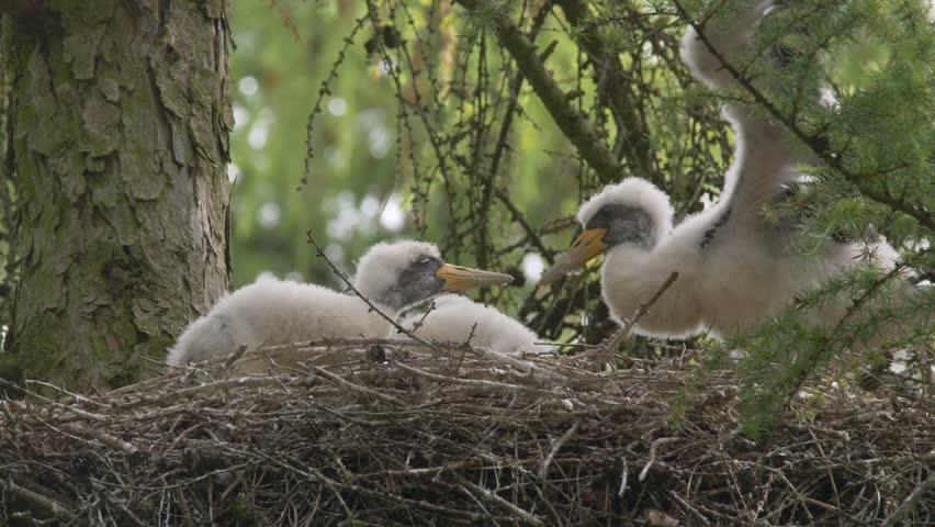 Black stork (Ciconia nigra) chicks in nest