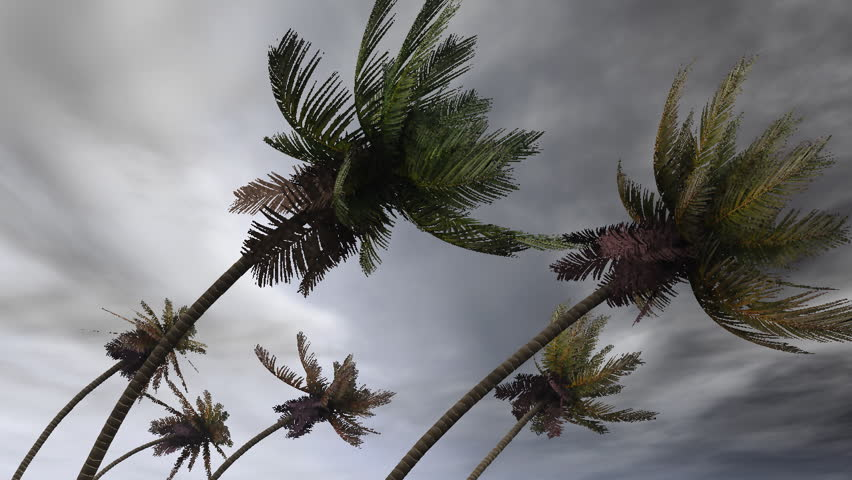 palms in hurricane
