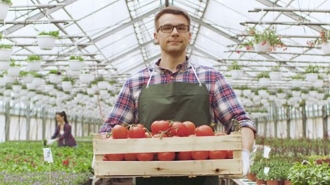 Happy Farmer Walks with Box full of Tomatoes Through Industrial, Brightly Lit Greenhouse. There's Rows of Organic Plants Growing. Shot on RED EPIC-W 8K Helium Cinema Camera.