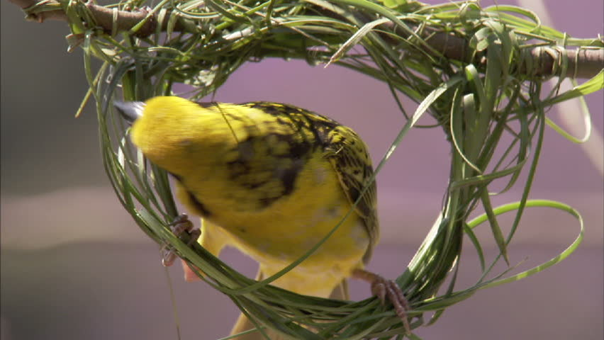 A close-up shot of a spotted backed weaver building his nest by weaving lush green grass together.