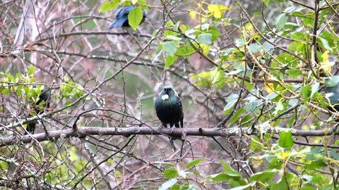 two New Zealand native tuis or parson birds
