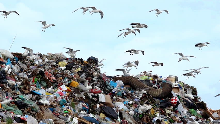 Image result for garbage dump gull