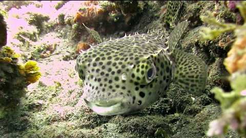 HD Smiling Fingerling Porcupine fish close up This cute Porcupine fish is looking at the camera and appears to be smiling. Porcupinefish have the ability to inflate their bodies.