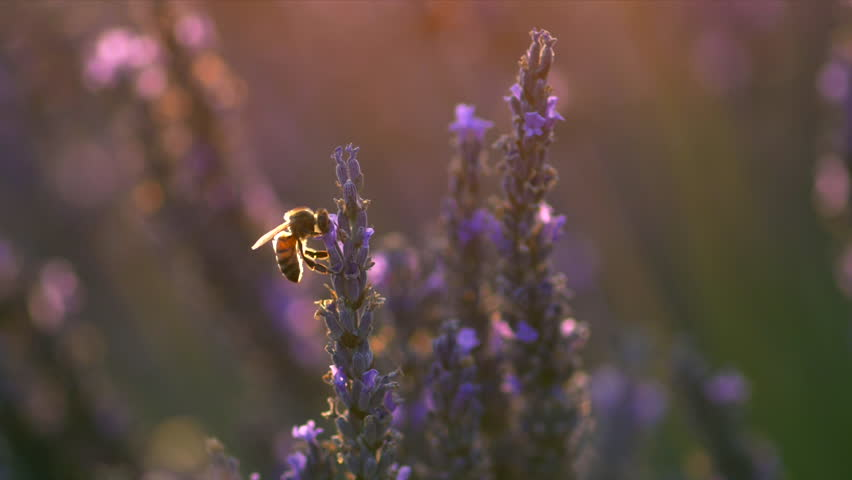 Bee on lavender flower. Slow motion