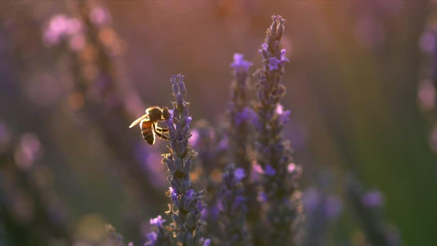 Bee on lavender flower. Slow motion | Shutterstock HD Video #29648371