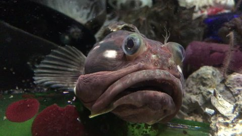4K HD Video of a Blackeye Goby, a very common inhabitant of coral reefs and rocky habitats along the eastern Pacific coasts of Mexico, the United States, and Canada. They often rest motionless