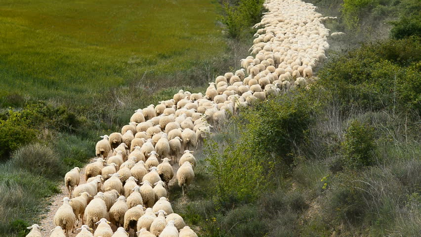 Herd of sheep, Navarra, Spain, Europe