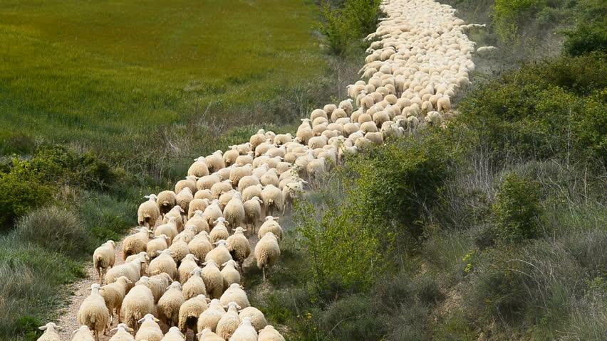Herd of sheep, Navarra, Spain, Europe | Shutterstock HD Video #29712451