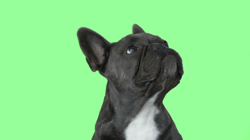 dog looking at green screen