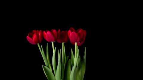 Timelapse of red tulip flower blooming on black background