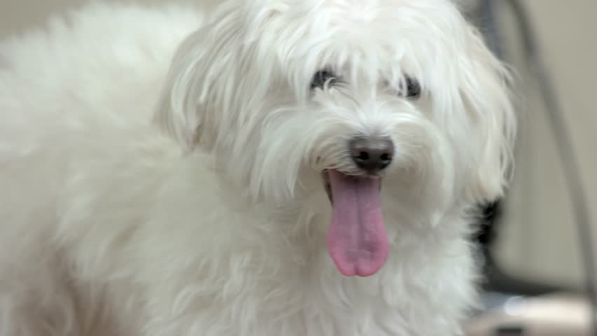 White Maltese Close Up Furry Stock Footage Video 100 Royalty Free 29733361 Shutterstock