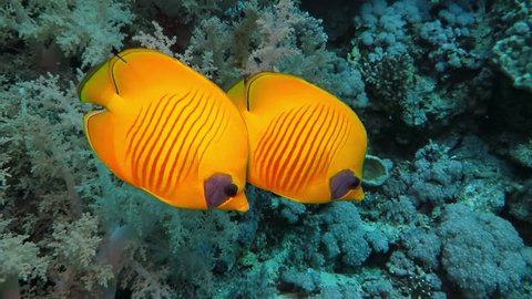 A pair of yellow masked butterflyfish - Chaetodontidae- swimming in tropical sea along coral reef. School of small damselfish in the background. Underwater footage taken during scuba diving.
