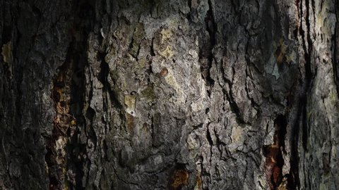 Beautiful texture of conifer tree bark with play of light. Camera slowly moving lengthwise the trunk. Vertical panoramic scene from up to down. Closeup view of peaceful nature. 4K