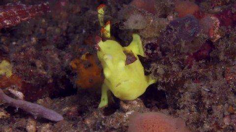 Warty Frogfish (Antennarius maculatus) yawning in the Lembeh Strait