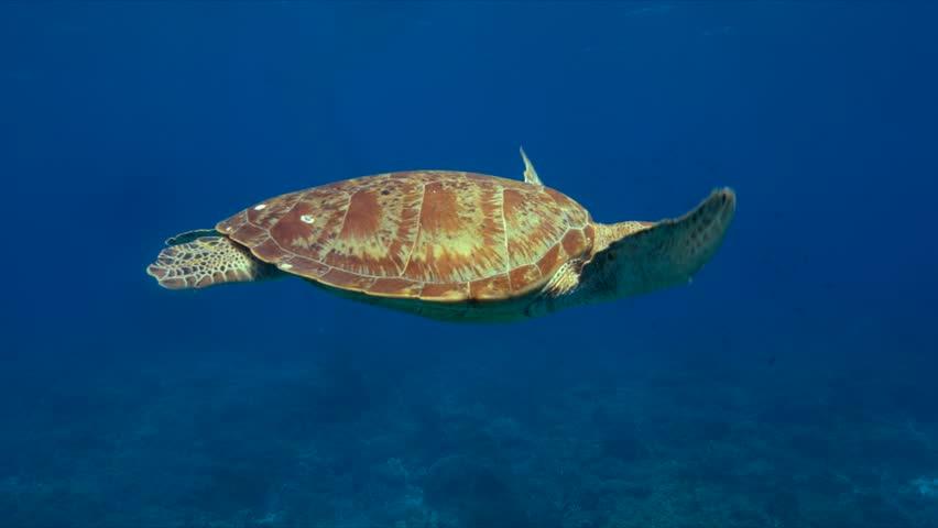 Green sea turtle in blue water. 4k footage #29797141