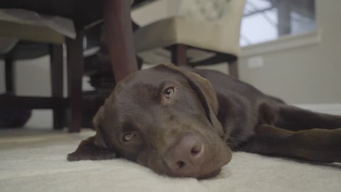 Weimaraner Being Lazy in the Living Room Looking at the Camera