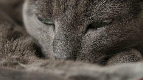Sleepy Russian Blue Cat, Eyes Detail, Close Up, Hand Held Camera