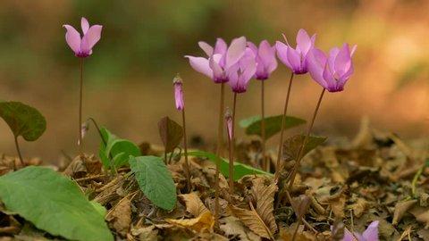 Purple cyclamen (Cyclamen purpurascens)
