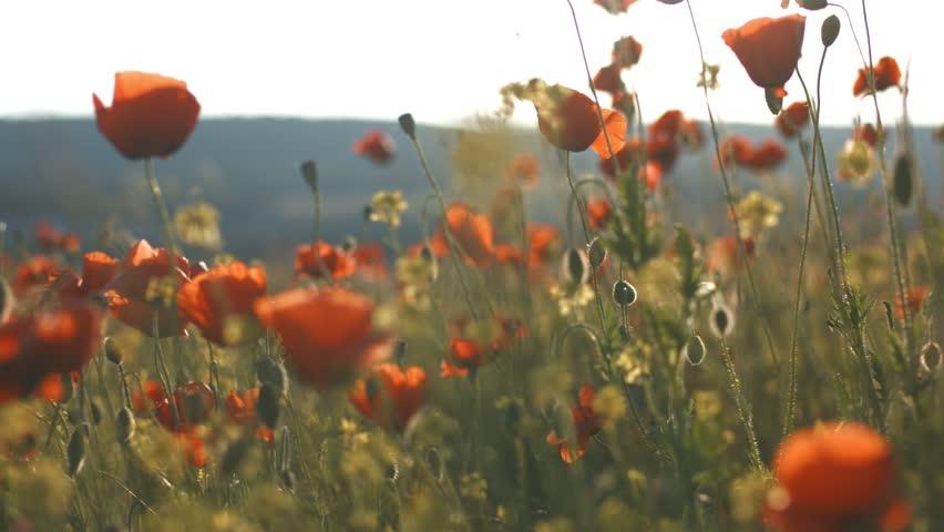 Feminine hand touching flowers in poppy field