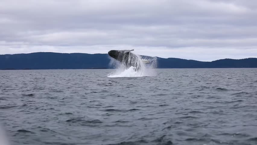 Humpback Whale, clearly related to the Giant Whales, repeatedly jumping in the beautiful nature of Alaska.